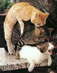 Pratique du triolisme, photo d'une chatte qui se fait défoncer par deux chats